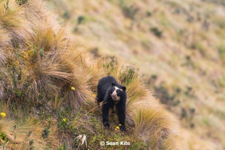 Más de 20 osos andinos han sido liberados en los páramos de Ecuador. Foto: Sean Kite.