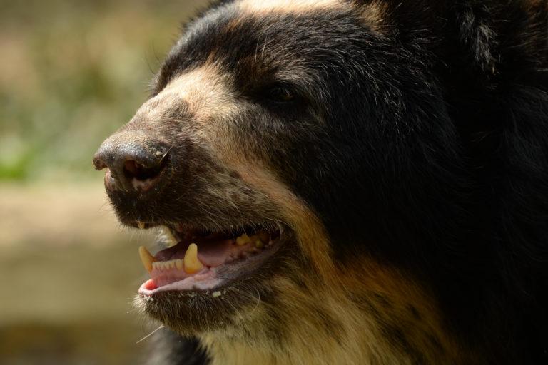La deforestación y el conflicto con las personas figuran entre las amenazas para el oso de anteojos. Foto: 'El Pato' Salcedo / WCS Colombia.