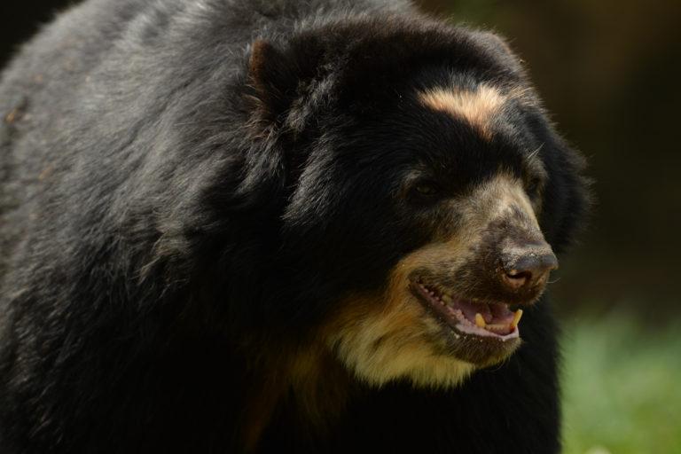 Un proyecto en Colombia busca cambiar la percepción negativa que tienen los campesinos sobre el oso andino. Foto: 'El Pato' Salcedo / WCS Colombia.