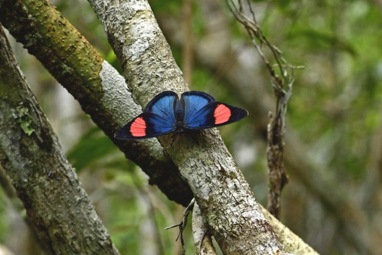 Insectos y mariposas. Batesia Hypochlora. Foto: Efraín Henao.