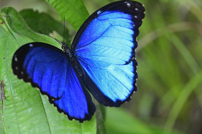 Insectos y mariposas. Morpho menelaus. Foto: Efraín Henao.
