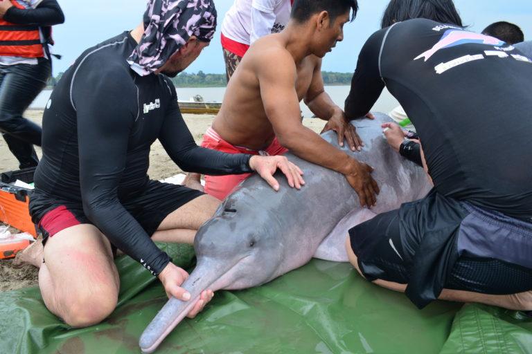 Delfines de río. Rescate de un delfín y marcaje satelital. Foto: Fundación Omacha.