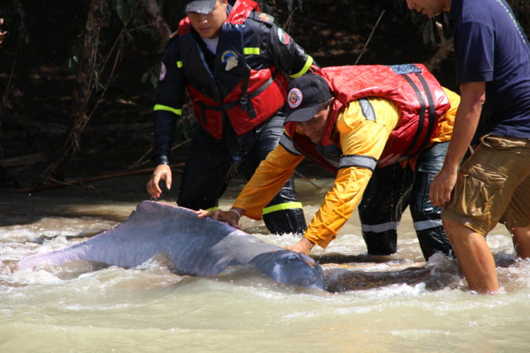 Delfines de río. Bomberos, Defensa Civil, pescadores y ONG participan en los rescates de delfines. Foto: Fundación Omacha.