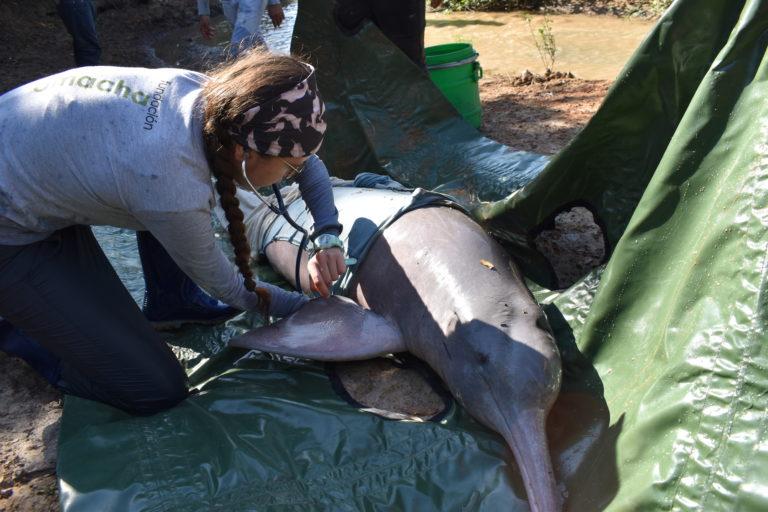 Delfines de río. Atención a un delfín varado en diciembre 2019 en Caño Jesús, Arauca, Colombia. Foto: Fundación Omacha.