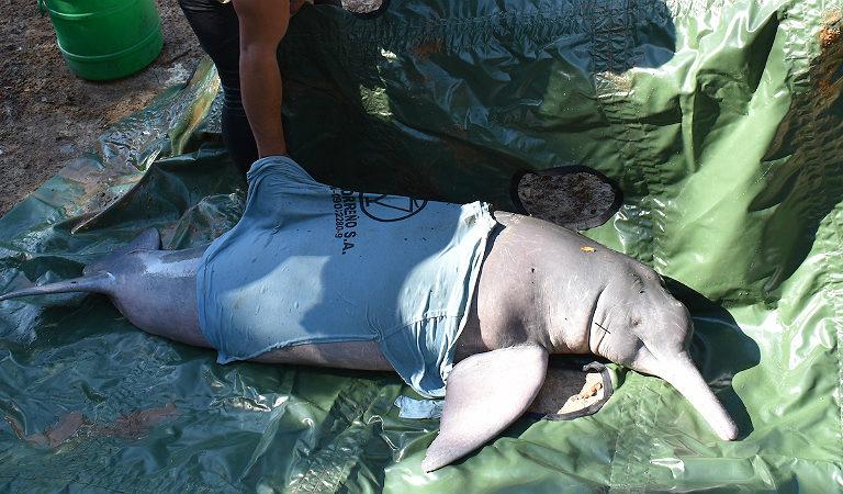Delfines de río. Rescate de un delfín. Foto: Fundación Omacha.