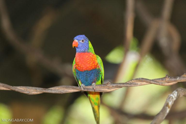 unlori arcoíris (Trichoglossus moluccanus), un ave de Australia. Foto: Rhett A. Butler / Mongabay