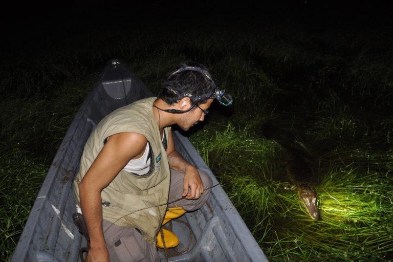 Caimanes en la Amazonía. El brillo de los ojos de los reptiles al apuntarles con una linterna delata su presencia. Foto: Diego Ortiz.
