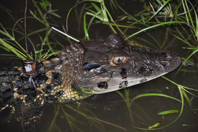 Caimanes en la Amazonía. La babilla es una especie de preocupación menor pero sus poblaciones han descendido drásticamente en la Reserva Cuyabeno. Foto: Diego Ortiz.