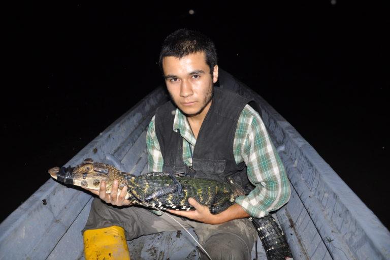Caimanes en la Amazonía. Dentro del agua suelen capturarse más babillas macho que hembra. Foto: Diego Ortiz.