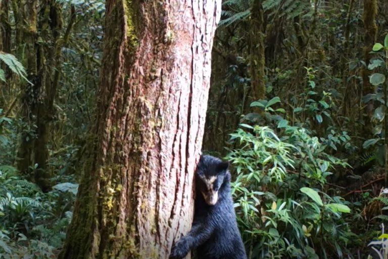 Cámaras trampa en el sur de Colombia. Oso de anteojos en bosque de montaña. Foto: CAM.