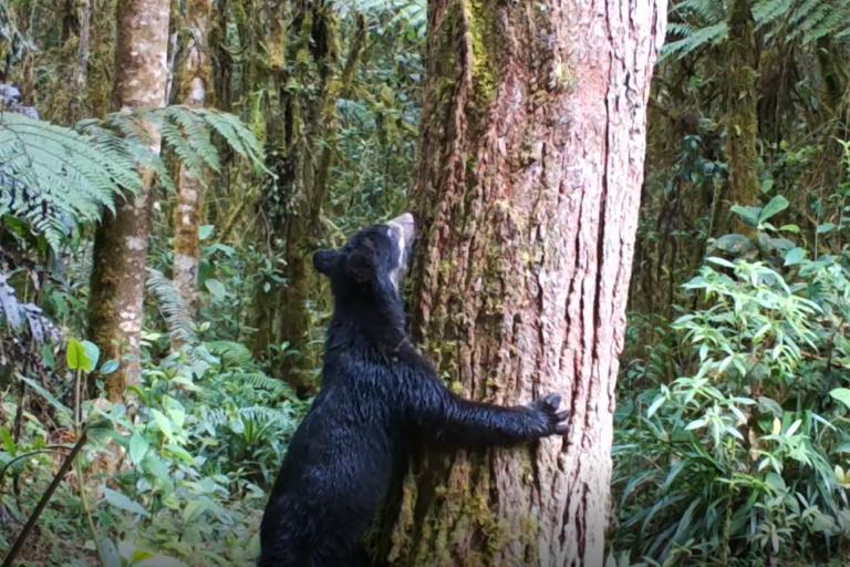 Cámaras trampa en el sur de Colombia. El oso de anteojos es un excelente dispersor de semillas. Foto: CAM.