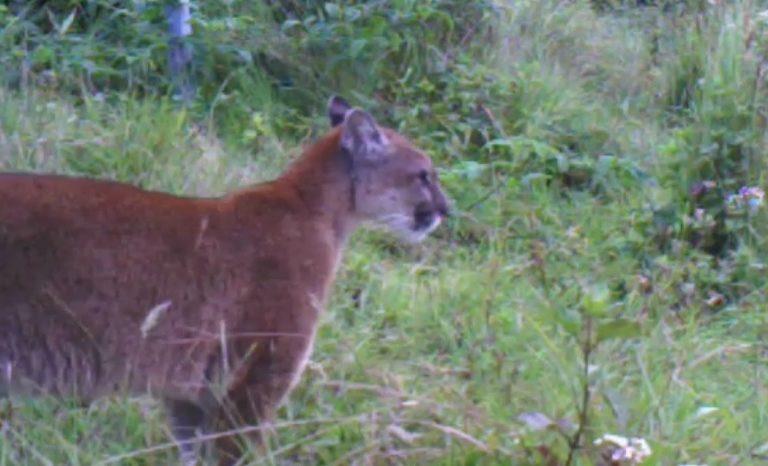 Cámaras trampa en el sur de Colombia. Puma registrado por cámara trampa en San Agustín, Huila. Foto: CAM.