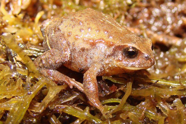 El hongo quitridio está afectando al 90 % de los anfibios amenazados en Bolivia. Foto: Rodrigo Aguayo.