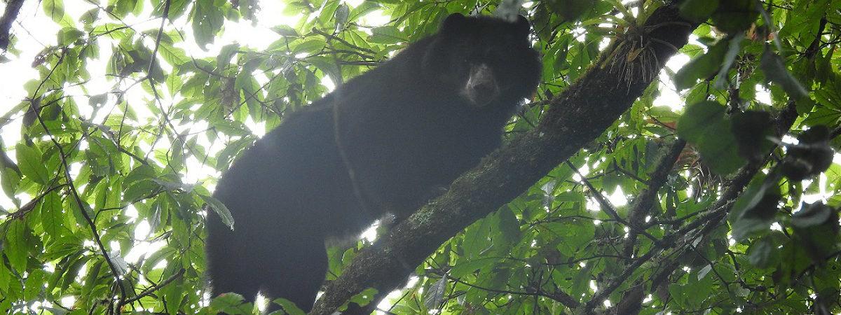 Cámaras trampa en el sur de Colombia. El oso de anteojos está catalogado como Vulnerable según la UICN. Foto: CAM.