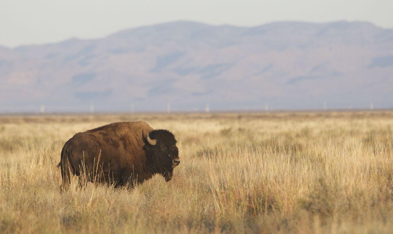 Bisonte reintroducido en Janos, Chihuahua