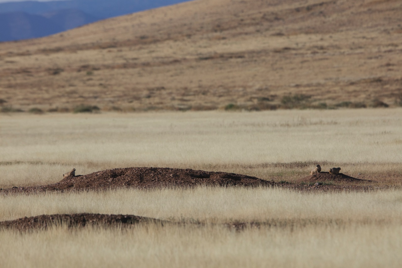 Perritos de la pradera-Janos-Chihuania