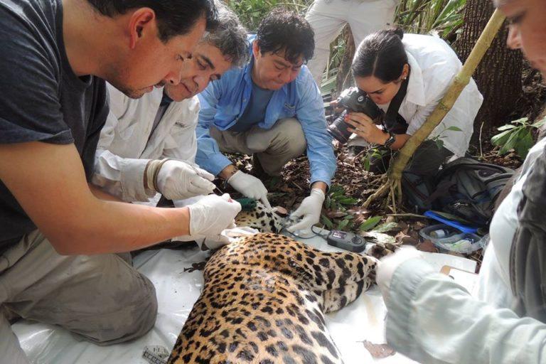 Gerardo Ceballos-jaguar-Calakmul