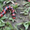 Una falsa serpiente coral en Colombia. Foto: Rhett A. Butler / Mongabay