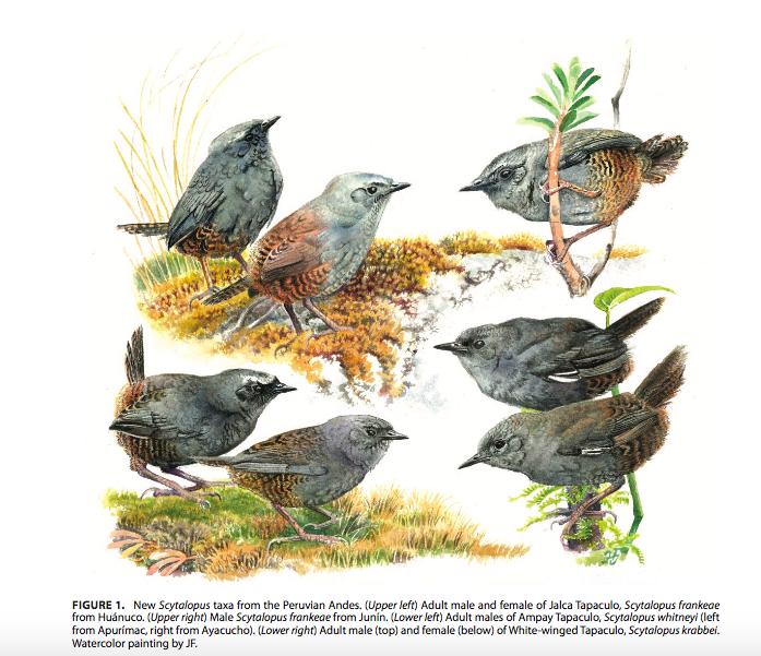 Las tres nuevas especies de aves endémicas en Perú. Fuente: The Auk.