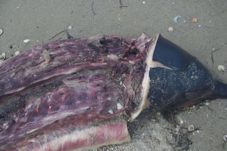 Delfín costero. Algunos pescadores han optado por cazar al delfín costero pues representa más proteína por menor esfuerzo. Foto: Yurasi Briceño.