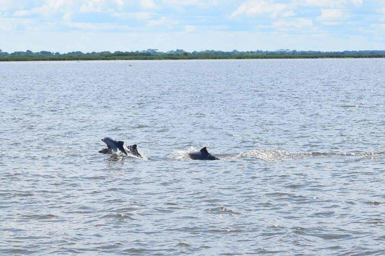 Delfín costero. Sotalia guianensis es el único delfín residente en el lago de Maracaibo. Foto: Yurasi Briceño.