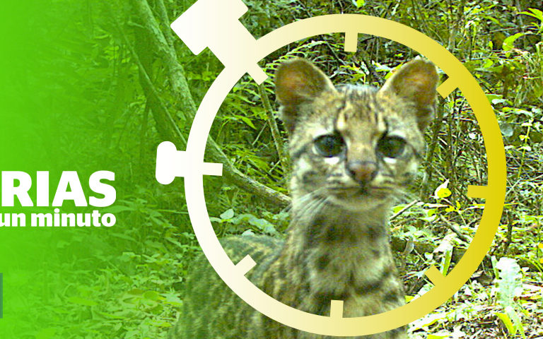 Composición a partir de imagen de tirica (Leopardus guttulus). Foto: Cámara-trampa - Diego Varela