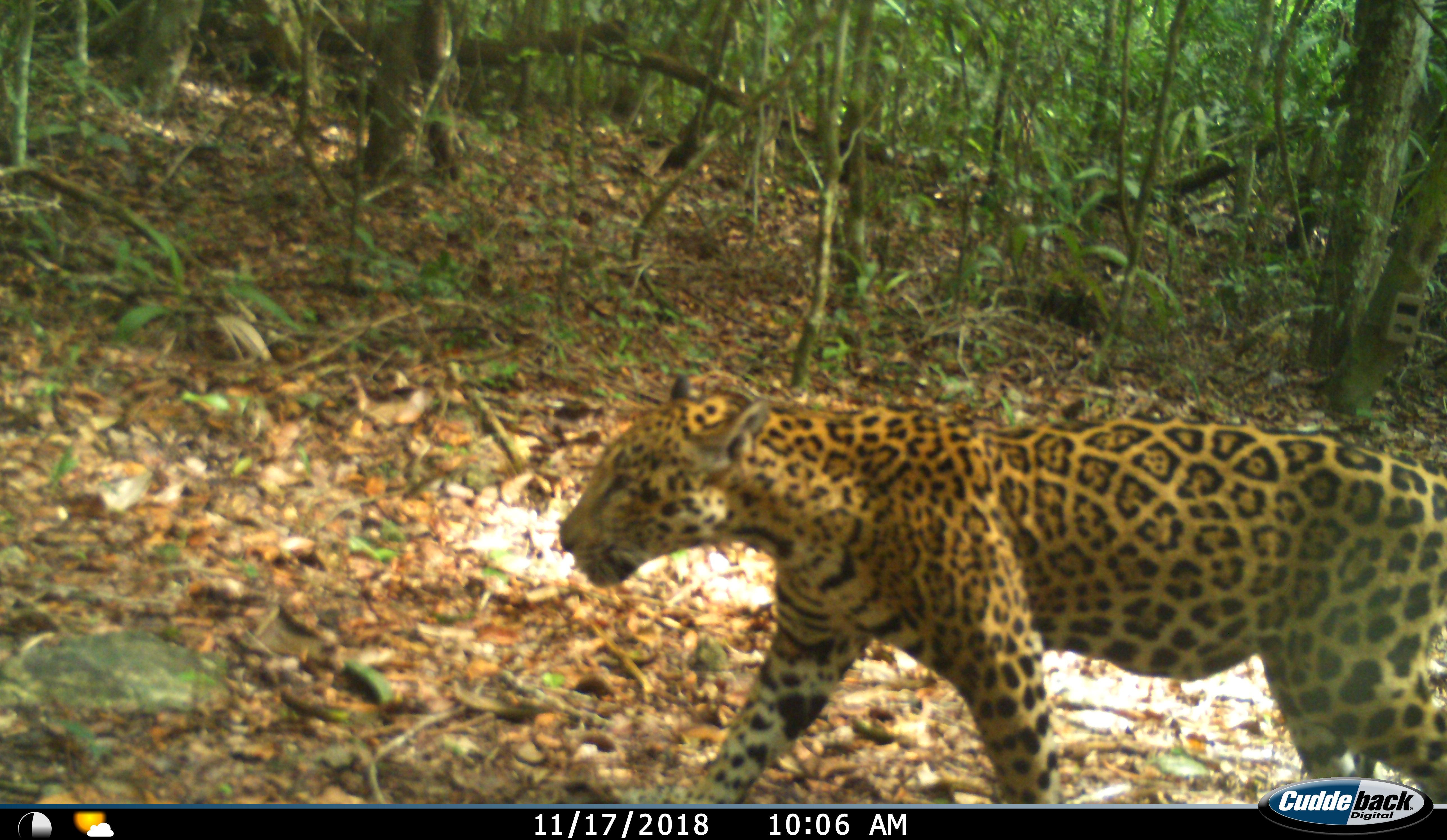 Jaguar en Laguna Om