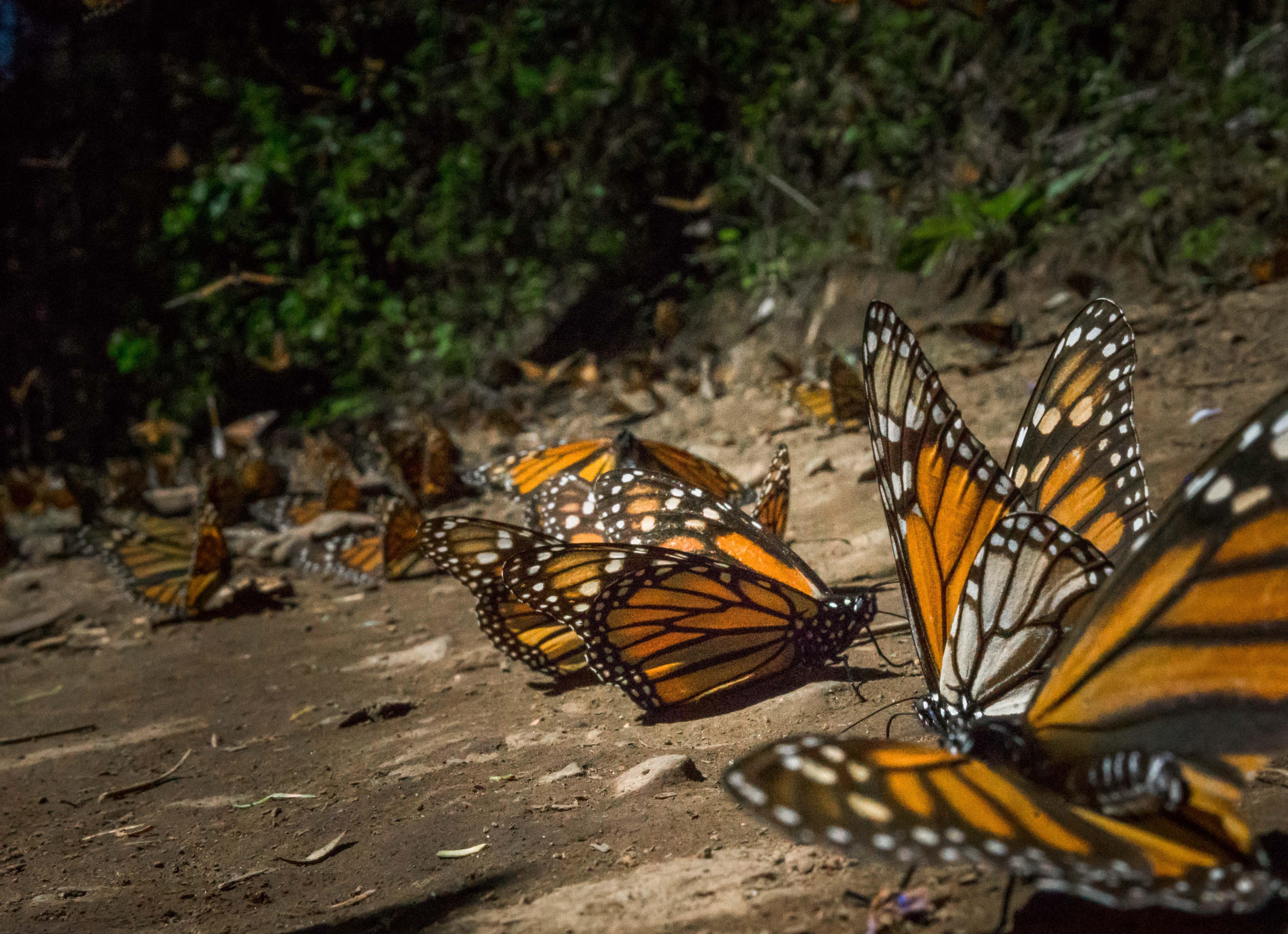 Mariposa Monarca-México