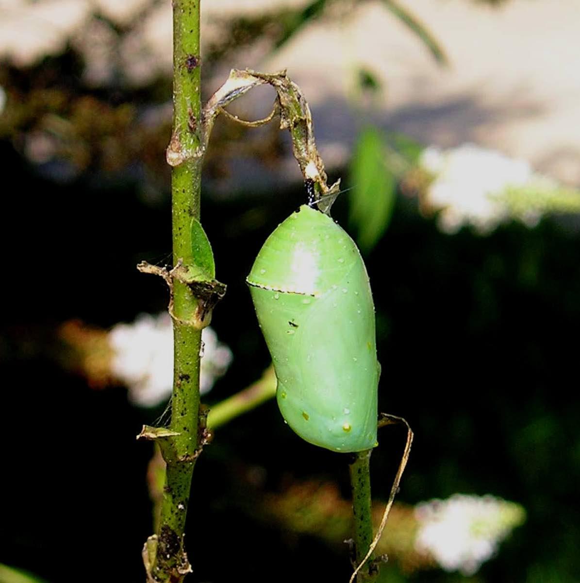 Pupa de mariposa monarca