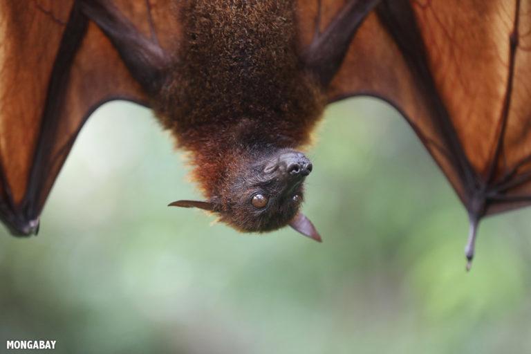 A pesar de su nombre científico, el gran zorro volador (Pteropus vampyrus) se alimenta exclusivamente de frutos, flores, polen y néctar. Habita en el sudeste asiático y se encuentra Casi Amenazado, según la Unión Internacional para la Conservación de la Naturaleza (UICN). Foto: Rhett A. Butler / Mongabay