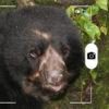 oso de anteojos en Perú. Foto: Rhett A. Butler / Mongabay