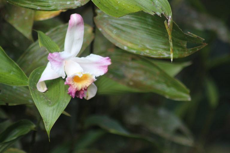Mineras en áreas naturales protegidas. Una orquídea del género Sobralia. En el Bosque Protector Los Cedros hay 186 especies de orquídeas. Foto: Elisa Levy.