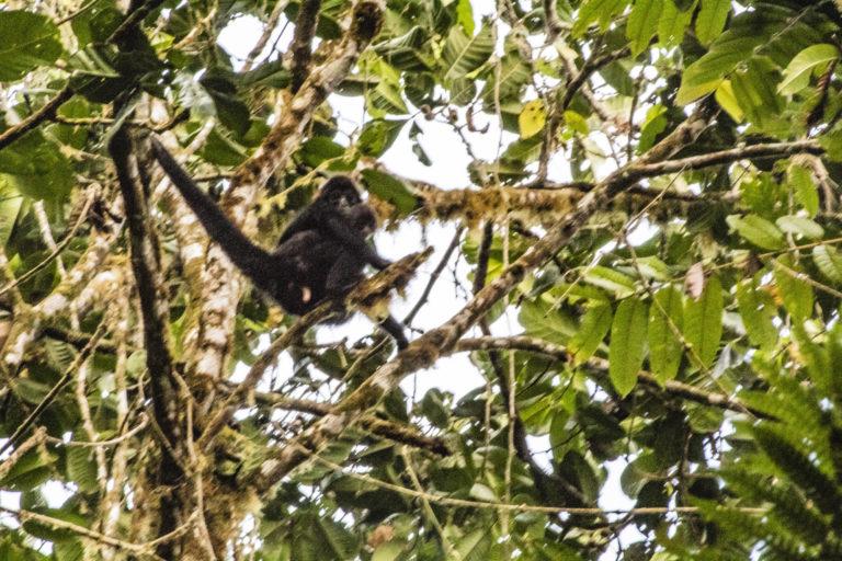 Mineras en áreas naturales protegidas. El mono araña de cabeza café (Ateles Fusciceps) vive en el Bosque Protector Los Cedros y es una de las especies más amenazadas. Foto: Marco Montero.