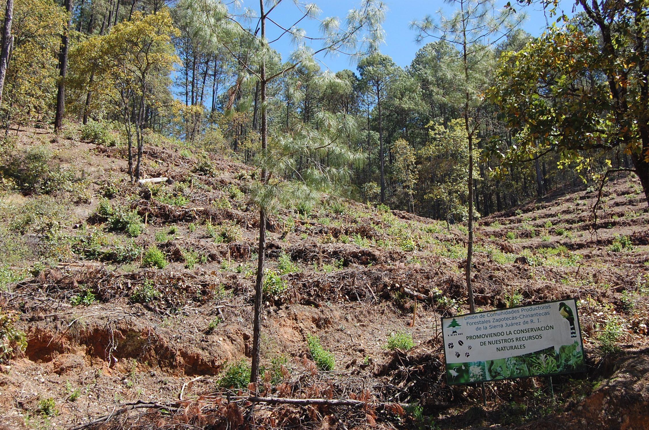 Comunidad forestal en Capulálpam