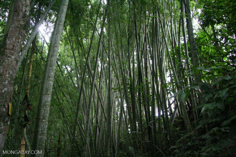 Bosque de guadua o bambú en Colombia. Foto: Rhett Butler.