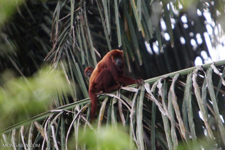 Mono aullador rojo (Alouatta seniculus) en los llanos orientales colombianos. Foto: Rhett Butler