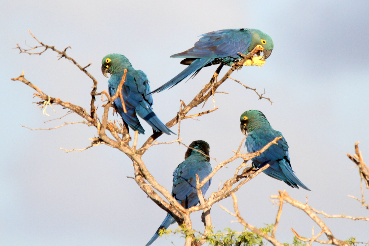 guacamayos brasil bolivia