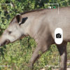 Un joven tapir sudamericano en el Pantanal de Brasil. Foto: Rhett A. Butler