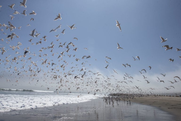 Animales silvestres coronavirus. Gaviotas de franklin, guanayos y zarcillos ocupan las playas turísticas de Lima. Foto: ANDINA/Jhonel Rodríguez Robles.
