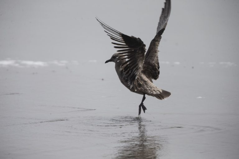 Animales silvestres coronavirus. Miles de aves marinas migratorias se ven en Lima. Foto: ANDINA/Jhonel Rodríguez Robles.