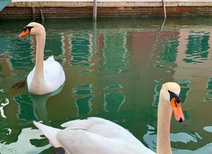 Animales silvestres coronavirus. La foto de los cisnes de Venecia que resultó ser falsa. Foto: @ikaveri - Twitter.