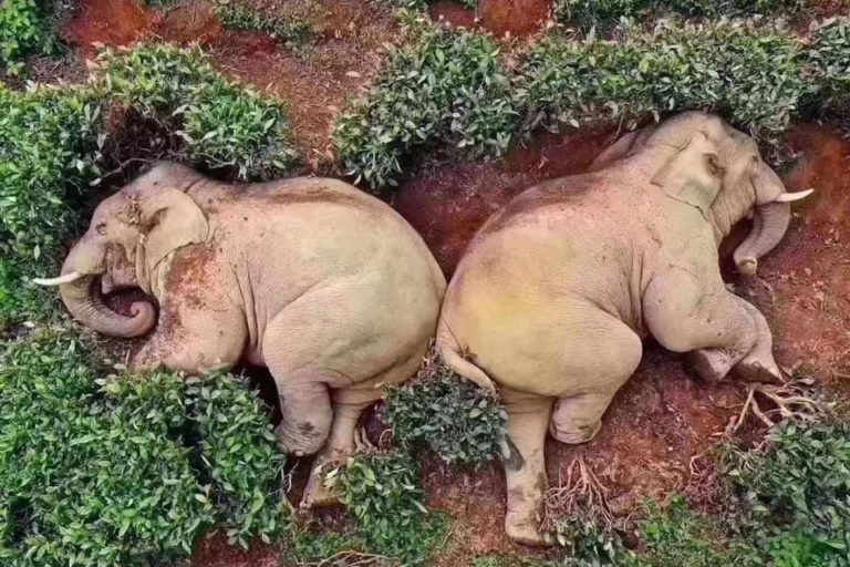 Animales silvestres coronavirus. Los supuestos elefantes borrachos que duermen en los campos de té en China. La foto resultó ser falsa. Foto: @Spilling_The_T - Twitter.