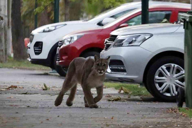 Animales silvestres coronavirus. El puma que se registró el 23 de marzo en las calles de Santiago de Chile. Foto: Twitter.