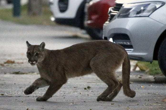 Animales silvestres coronavirus. Un puma deambuló durante horas en las calles de Santiago de Chile. Será devuelto a su hábitat natural y tendrá un chip para estudiar sus desplazamientos. Foto: Twitter.
