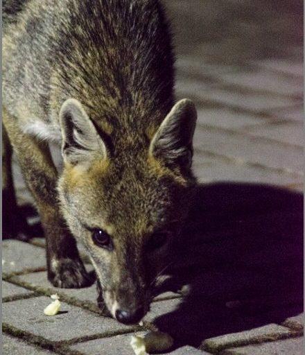 Animales silvestres coronavirus. Uno de los zorros perro que han aparecido en Bogotá en los últimos años. Foto: Emmanuel Escobar, @pezcapitan - Twitter.