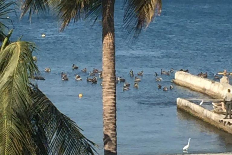 Animales silvestres coronavirus. Aves marina ingresan a la turística playa de El Rodadero en Santa Marta, Colombia. Foto: Vicky Perla.
