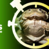 composición a partir de una imagen de una rana gigante del Titicaca. Foto: D. Alarcón. Centro K'ayra.