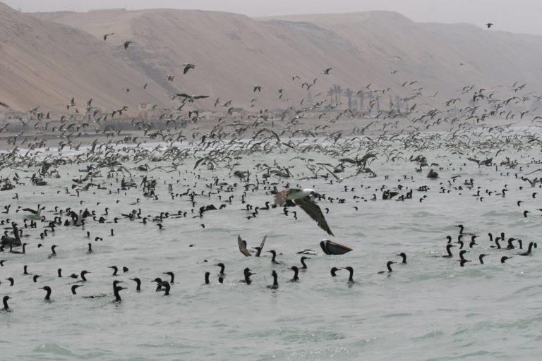 Aves marinas en el litoral de Perú. Foto: Irma Franke.