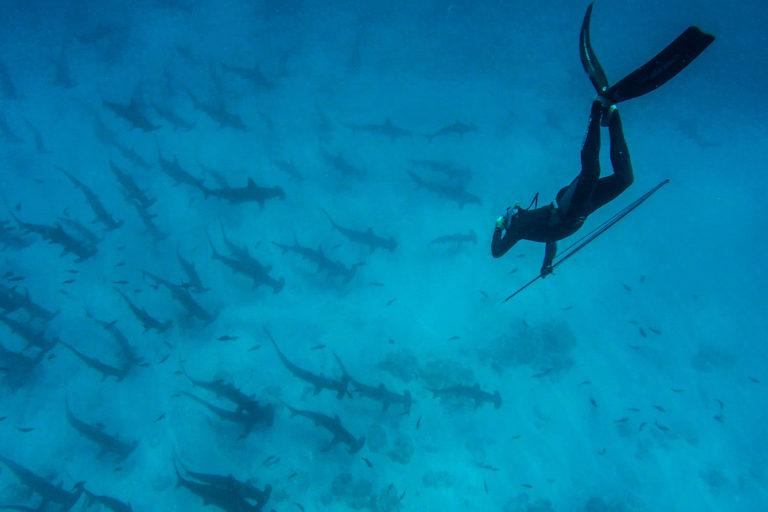 reproducción de tiburones martillo