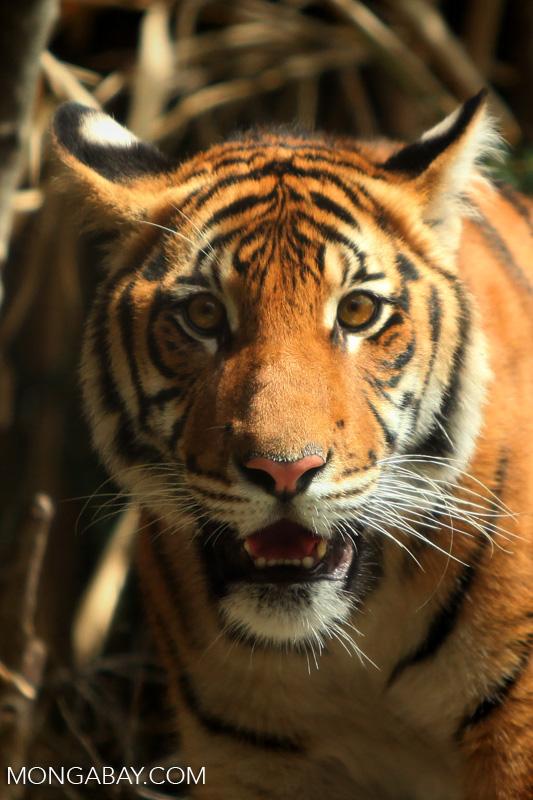 Tigre con coronavirus. Tigre malayo. Foto: Rhett A. Butler.